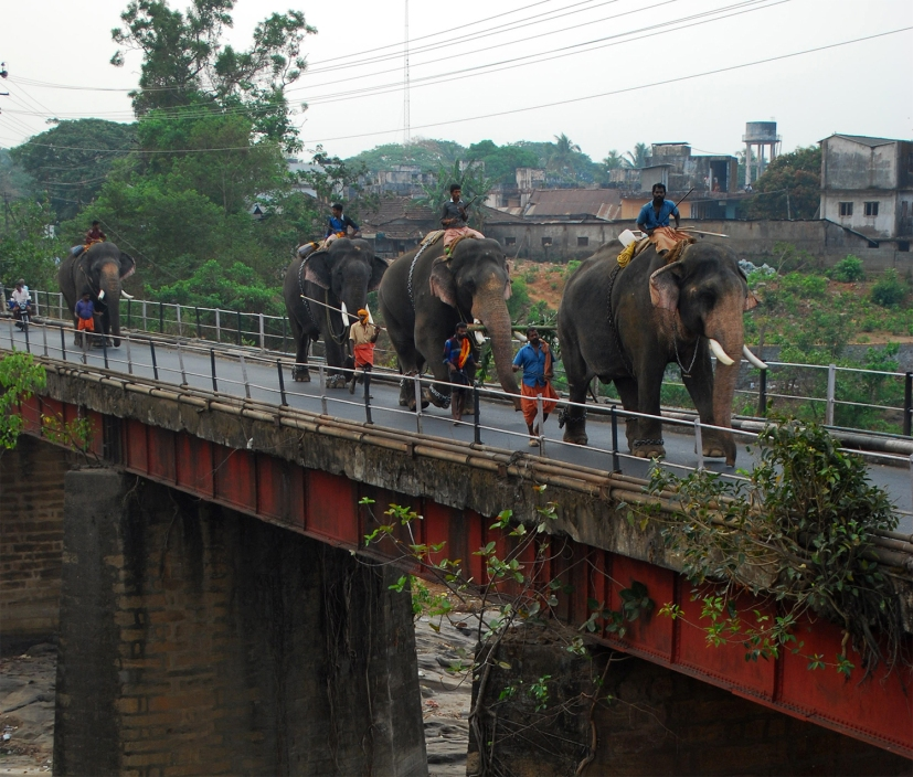 Elephants walking from one festival place to another--a scene from early 2000s